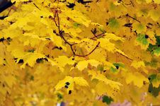 Free Yellow Maple Tree Stock Image - 16439231