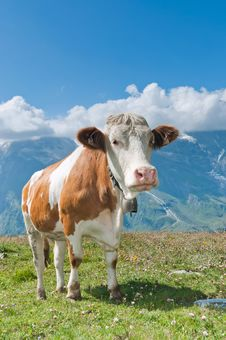 Free Austrian Cow Royalty Free Stock Image - 16439306