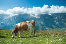 Free Austrian Cow Royalty Free Stock Photos - 16439308