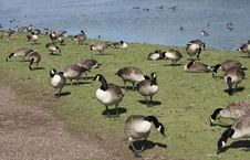 Free Lakeside Geese Stock Image - 16439631