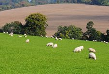 Free An English Rural Landscape With Grazing Sheep Stock Images - 16439774