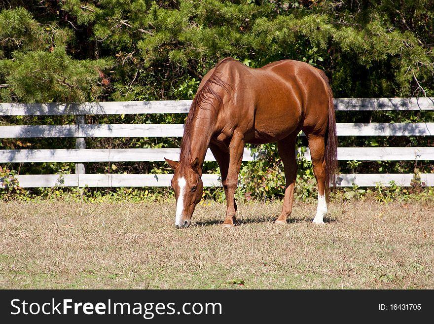 Chestut Stallion
