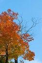 Free Autumn Maple Royalty Free Stock Photography - 16443397