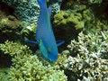 Free Blue Parrotfish Stock Photography - 16443472