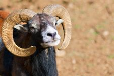 Free Headshot Of A Big Horned Ram Royalty Free Stock Image - 16440926