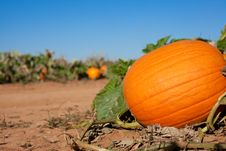 Free Pumpkin On Vine Royalty Free Stock Photos - 16441348