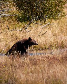 Free Cinnamon Black Bear Stock Images - 16441754