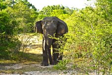 Free Wild Elefant In The Jungle Royalty Free Stock Images - 16442259