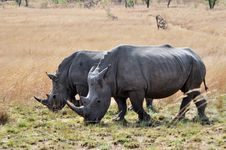 Free Rhinos Royalty Free Stock Image - 16442266