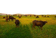 Free Wild Buffalos In The Jungle Nationalpark Stock Image - 16442391