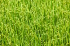 Free Paddy Rice Royalty Free Stock Photo - 16442595