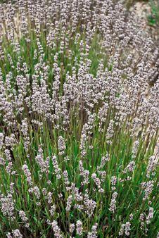 Free Lavender Royalty Free Stock Photo - 16443455