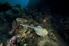 Free Bluespotted Stingray And Ocean Stock Images - 16443584