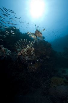 Lionfish And Ocean Royalty Free Stock Images