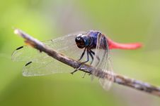 Free Pink Tail Dragonfly Stock Photos - 16443653