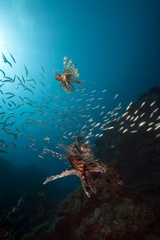 Free Lionfish And Ocean Stock Photography - 16443782