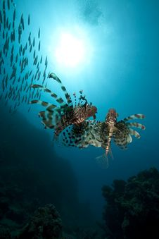 Free Lionfish And Ocean Stock Photography - 16443952