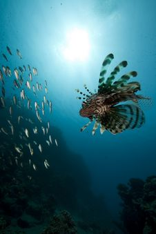 Free Lionfish And Ocean Royalty Free Stock Photography - 16443977