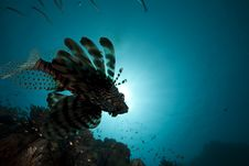 Lionfish And Ocean Royalty Free Stock Image