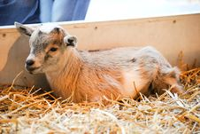 Free Baby Goat Royalty Free Stock Photography - 16444147