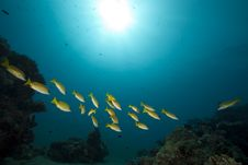 Free Blue-striped Snappers And Ocean Royalty Free Stock Image - 16444196