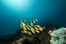 Free Blue-striped Snappers And Ocean Stock Photography - 16444232