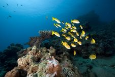 Free Blue-striped Snappers And Ocean Stock Photos - 16444263