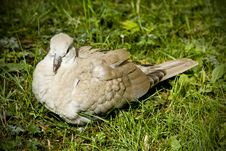 Free Resting Collared Dove Royalty Free Stock Photo - 16444375