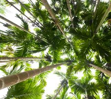 Free Palm Trees Royalty Free Stock Image - 16444426