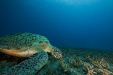 Free Green Turtle Feeding On Seagrass Royalty Free Stock Photography - 16444467