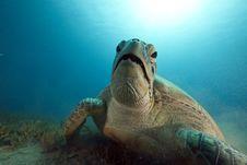 Free Green Turtle Feeding On Seagrass Royalty Free Stock Image - 16444516