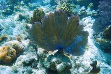 Free Fan Coral Stock Photography - 16444712
