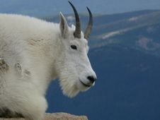 Free Mountain Goat Royalty Free Stock Photography - 16444847