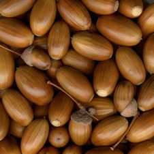 Free Acorns Royalty Free Stock Photography - 16445337