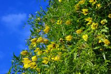 Free Yellow Clematis Flowers Over Blue Sky Stock Image - 16446141