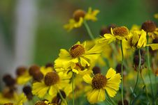 Free Gerbera Flower Royalty Free Stock Images - 16446149