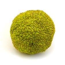 Free Osage Orange Fruit Stock Photo - 16446330
