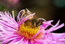 Free Bee On Pink Flower Royalty Free Stock Photo - 16447375