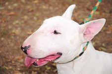Free English Bull Terrier Stock Images - 16447434