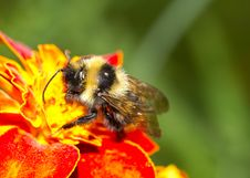 Free Bumblebee On A Flower Stock Photography - 16447452