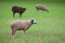 Free Lamb Stock Photography - 16447642