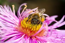 Free Bee On Pink Flower Royalty Free Stock Images - 16447649