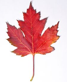 Free Red Leaf Royalty Free Stock Photo - 16447655