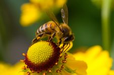 Free Bee On Yellow Flower Stock Images - 16447684