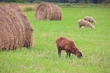 Free Lambs Graze On The Field Among The Stacks Royalty Free Stock Images - 16447749