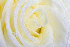 Free White Rose Macro Stock Photo - 16447950