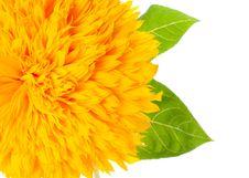 Free Sunflower Royalty Free Stock Photo - 16449295