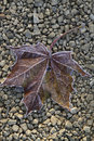 Free Maple Leaf On The Stones Background Royalty Free Stock Photography - 16457967