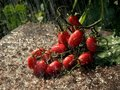 Free Little Tomatoes Royalty Free Stock Photography - 16458687