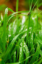 Free Wet Grass Royalty Free Stock Image - 16459836
